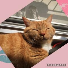 ハンドメイド/猫/にゃんこ同好会/うちの子ベストショット 微睡んでます、… 眠気がこちらまで移りま…(1枚目)