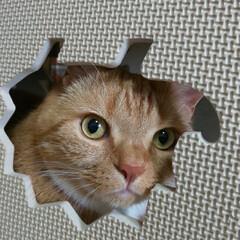 スコテッシュフォールド立ち耳/癒し/愛猫 おはようございます٩(*´꒳`*)۶ 午…