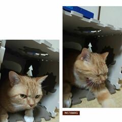 スコティッシュフォールド立ち耳/癒し/愛猫 押し入れ上のニャマゾンhouse撤去後の…