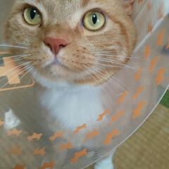 UFOと交信中/ただ今カラー装着中/癒し/愛猫 お腹の湿疹は治りましたが? 前脚、後脚の…