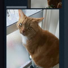 5歳♂/スコティッシュフォールド立ち耳/癒し/愛猫 トラ専用見張り台❣️笑ꉂꉂ(ᵔᗜᵔ*) …