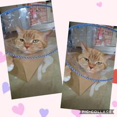 好酸球菌/エリザベスカラー/たち耳スコ/愛猫 おはようございます٩(*´꒳`*)۶ コ…(1枚目)