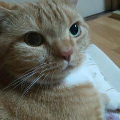 猫ばか/愛猫好きすぎ/ネコ好き 寝る前のトラ!! 鼻水もなく?イケニャン…