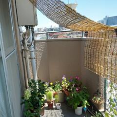 日除け対策/ガーデニング 暑さ対策に日除け作りました〜🥵💦 簾と金…