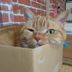 ダンボールハウス/癒し/愛猫 今日もベストポジションで……  不細工な…