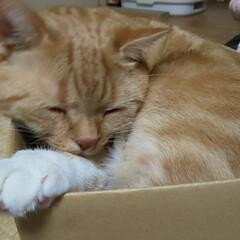 ダンボールハウス/お気に入り/癒し/愛猫 廃棄した同サイズのダンボール🥺🤣 めちゃ…