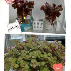 カリシア/多肉植物/雨季ウキフォト投稿キャンペーン/令和の一枚/にゃんこ同好会/至福のひととき 上の状態から3月27日に植え替えてから😁…