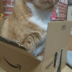 愛猫/立ち耳スコティッシュフォールド まぁ〜Amazonの箱にINしたはいいけ…