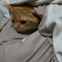 立ち耳スコティッシュフォールド/猫バカ/愛猫 パパさんが帰るから直ぐに寝れるように支度…