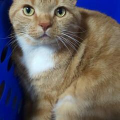 立ち耳スコティッシュフォールド/癒し/愛猫 私の真横にいます…… 抱かせてくれないか…