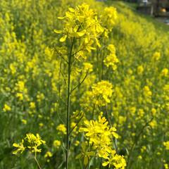 春のフォト投稿キャンペーン/春の一枚 菜の花も一面満開。 春爛漫