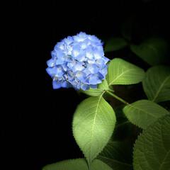 暮らし 我が家の紫陽花