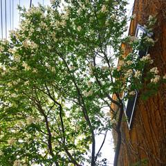お花見/シンボルツリー/利休梅/グリーン/住まい/玄関 シンボルツリーの利休梅💕 大きくなった〜…