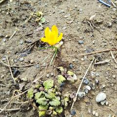 小さい春 庭に一輪、クロッカスが咲いていました。 …