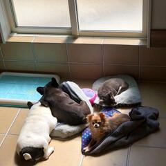 室内土間/ドッグスペース/LIMIAペット同好会/ペット/犬/わんこ同好会/... みんなで日向ぼっこしながらお昼寝♡ 日差…