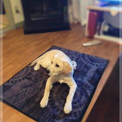 ラブラドールレトリバー/ペット/犬 エイト5ヶ月。12.5kgになった。 未…