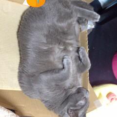 ダラダラ/箱猫/デブ猫/ロシアンブルー/ペット お気に入りの箱で寝てる時 エアコン掃除す…