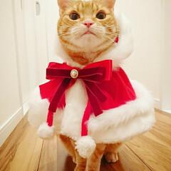 手芸/ペット/猫/ハンドメイド/ファッション/クリスマス りんちゃん クリスマス用に🎅🎄✨ リボン…