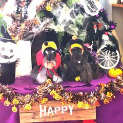 コスプレ犬/お利口さん/ドッグカフェ/シュナウザー/可愛い/ハロウィン/... ドッグカフェもハロウィンの飾りつけで可愛…