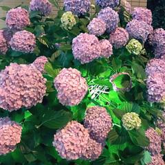 梅雨/紫陽花/梅雨2016 近所で見かけた紫陽花