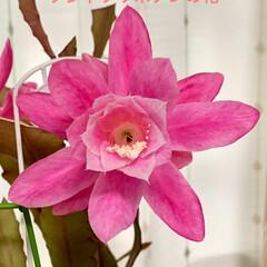 クジャクサボテン/花/暮らし 🦚クジャクサボテン🦚 やっと開花しました…