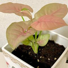 ピンク/観葉植物/デコパージュ/シンゴニウム/100均/ダイソー/... 🌱シンゴニウム🌱  ダイソーで、ピンクの…