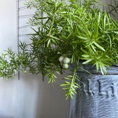 暮らしを楽しむ/花のある暮らし/ホーロージャグ/グリーンのある暮らし/棘のある植物/インテリア/... やっぱりお部屋ににグリーンがあると嬉しい…(1枚目)