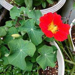 ハーブ/ガーデニング/暮らし ナスタチュームです😊 花も綺麗ですが葉っ…