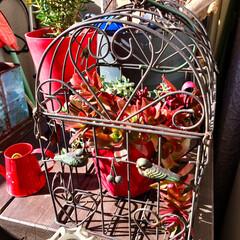 カフェ風/Plus Heart/バードゲージ/ベランダ/紅葉/火祭り/... 冬の間、真っ赤に紅葉していた頃の 多肉植…
