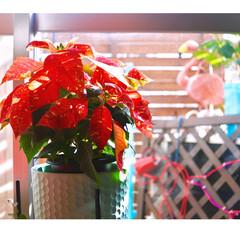 窓際/観葉植物/ベランダ/フラミンゴ/クリスマス/斑入り/... クリスマス準備も着々と!  ポインセチア…