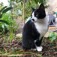 風景/猫/住まい/ペット仲間募集/にゃんこ同好会 最近のロイちゃんです。  手かな、尻尾か…