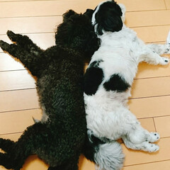 お昼寝/可愛い/犬バカ/犬好き/ペット/トイプー/... 仲良く寝てます♡