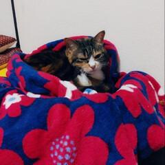 三毛猫/ねこ/住まい/暮らし/フォロー大歓迎 毛布をかまくらにする賢いこももさんw