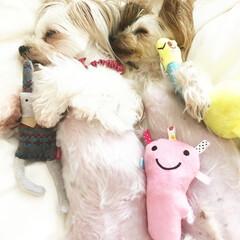 ペット/犬/住まい 仲良しお昼寝🌸😊 大好きなおもちゃを抱いて
