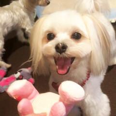 ペット/犬/住まい 新しいおもちゃを見て嬉しいほほる🌸☺️ …
