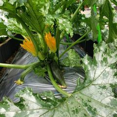 ズッキーニ/令和の一枚/フォロー大歓迎/ハンドメイド/節約/令和元年フォト投稿キャンペーン ズッキーニのお花 初めて咲いているのを見…(2枚目)