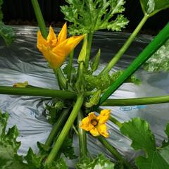 ズッキーニ/令和の一枚/フォロー大歓迎/ハンドメイド/節約/令和元年フォト投稿キャンペーン ズッキーニのお花 初めて咲いているのを見…(1枚目)