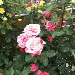 令和元年フォト投稿キャンペーン/フォロー大歓迎/至福のひととき/おでかけ/わたしのお気に入り/お出かけワンショット 薔薇が大好きな私の為に薔薇園に連れて行っ…(2枚目)