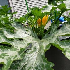 ズッキーニ/令和の一枚/フォロー大歓迎/ハンドメイド/節約/令和元年フォト投稿キャンペーン ズッキーニのお花 初めて咲いているのを見…(4枚目)
