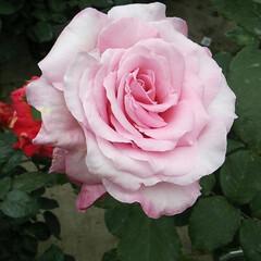 令和元年フォト投稿キャンペーン/フォロー大歓迎/至福のひととき/おでかけ/わたしのお気に入り/お出かけワンショット 薔薇が大好きな私の為に薔薇園に連れて行っ…(1枚目)