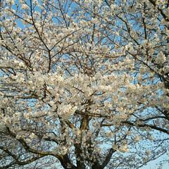 春の一枚 公園で一本だけ満開なソメイヨシノ見つけま…