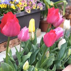 春の花/ガーデニング/花のある暮らし/チューリップ/プランター/インテリア/... こんばんは😊 先週からプランターのチュー…
