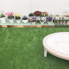 花のある暮らし/レースラベンダー/オステオスペルマム/ブラキカム/マーガレット/人工芝/... 屋上のパンジー&ビオラが元気に咲いていま…(3枚目)