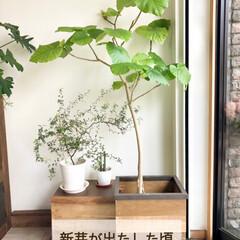 ウンベラータ/ハダニ/グリーンのある暮らし/グリーンインテリア/グリーンのある生活/鉢カバー/... ウンベラータが元気に成長してくれています…(2枚目)