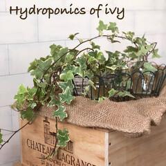 観葉植物のある暮らし/インテリア/ナチュラルインテリア/ナチュラル/水栽培/ワインの木箱/... 寄せ植えにあったアイビーが伸びてたので、…