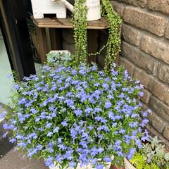 インテリア/多肉植物/グリーンネックレス/ガーデニング/花のある暮らし/花/... おはようございます(๑・̑◡・̑๑) 今…