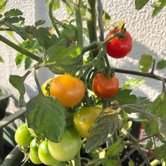 収穫/ガーデニング/プランター栽培/家庭菜園/ミニトマト/暮らし プランターで家庭菜園しているミニトマトが…