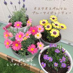 花のある暮らし/レースラベンダー/オステオスペルマム/ブラキカム/マーガレット/人工芝/... 屋上のパンジー&ビオラが元気に咲いていま…(2枚目)