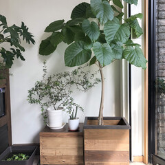 ウンベラータ/ハダニ/グリーンのある暮らし/グリーンインテリア/グリーンのある生活/鉢カバー/... ウンベラータが元気に成長してくれています…(1枚目)
