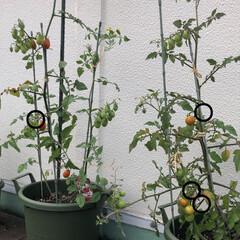 収穫/家庭菜園/プランター栽培/トマト/ミニトマト/暮らし こんばんは😊 屋上のプランターで育ててい…(2枚目)